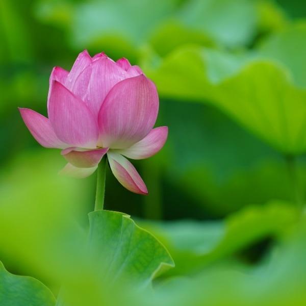 不忍池の蓮2020彩💖:ピンクの華✨