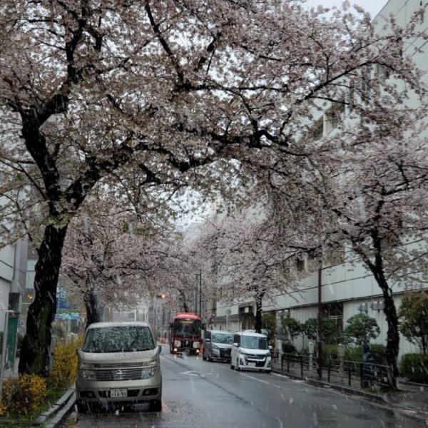 これがほんとの桜吹雪