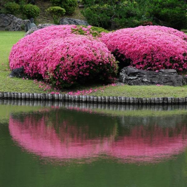 緑とピンクの饗宴(回想編):六義園のつつじ✨
