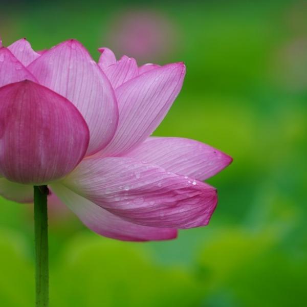 不忍池の蓮2020彩💖:ピンクの艶舞曲✨