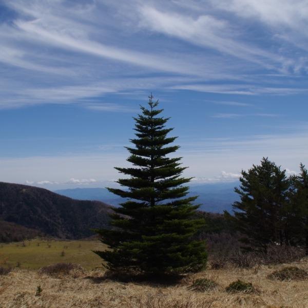 「クリスマスツリーの木」