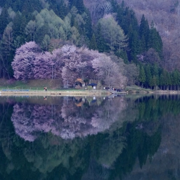 AM5:30頃の中綱湖と大山桜(その2)