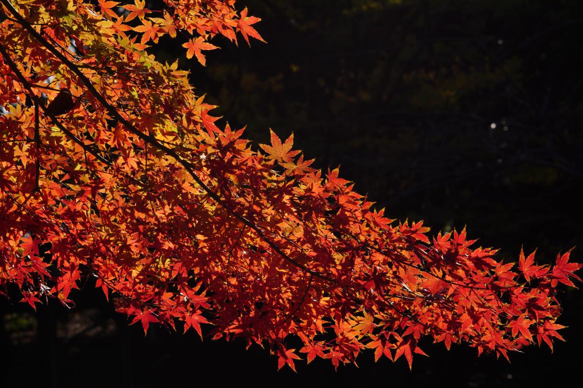 陽射しに映える紅葉