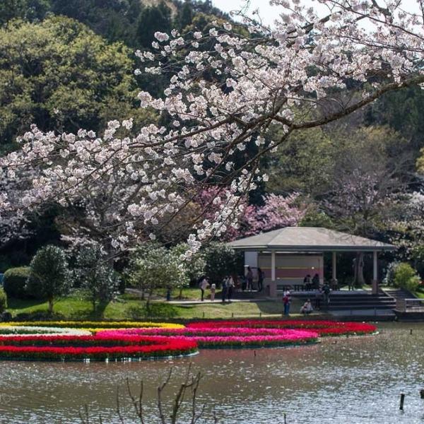 浜松フラワーパークの桜 4