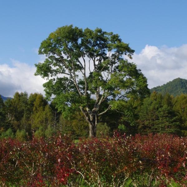 「ブルーベリーの紅葉とコナラの一本木」