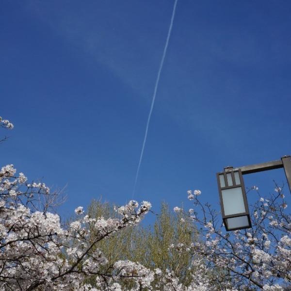 桜と飛行機雲…