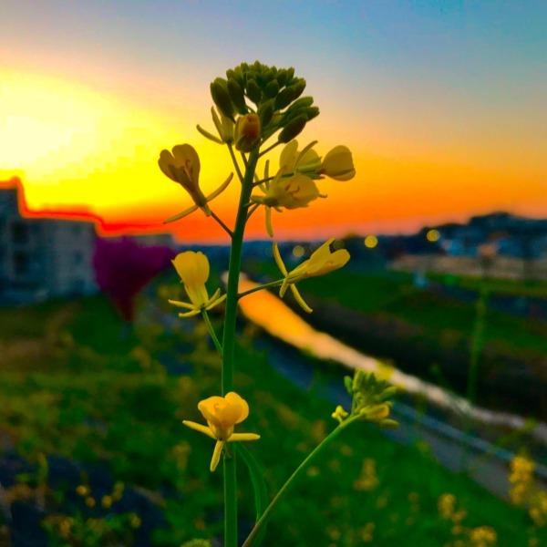 菜の花の向こう