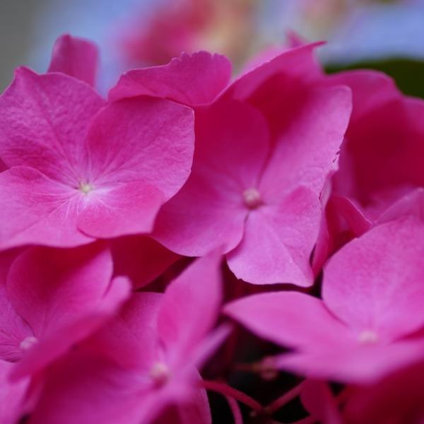 紫陽花2019彩/白山祭り:ピンクの園💖