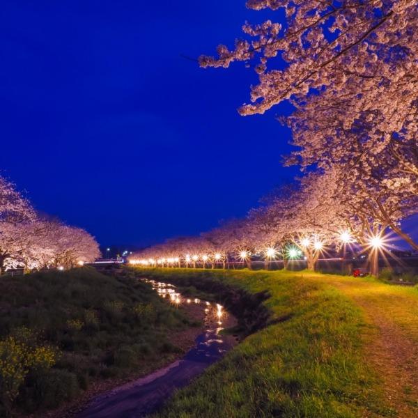 草場川の桜並木ライトアップ