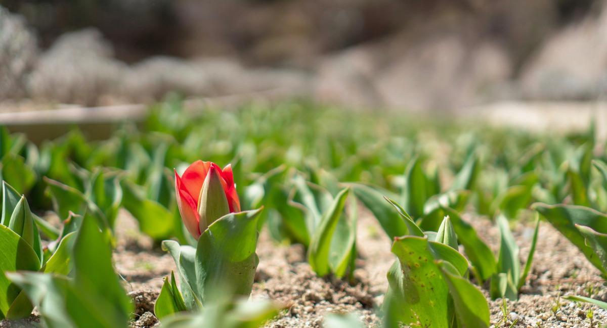 咲きかけのチューリップ