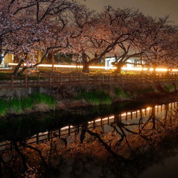 桜並木を進むライト