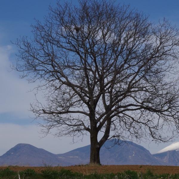 「御牧ヶ原台地の一本胡桃と浅間山」