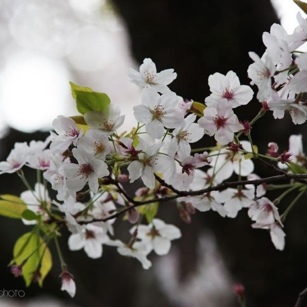 浜松城の桜 4