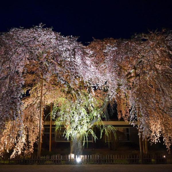 旧・杵原学校に咲く枝垂れ桜