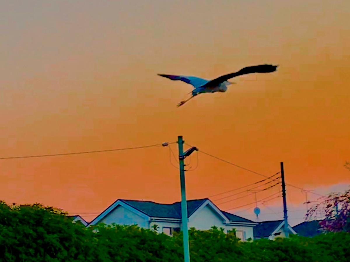 鷺の舞う朝