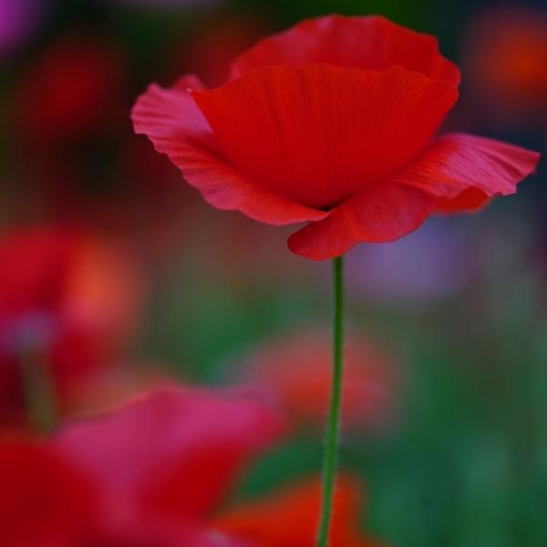 シャーレーポピーの囁き2019:昭和記念公園✨