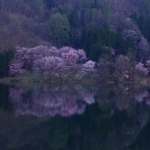 AM5:30頃の中綱湖と大山桜