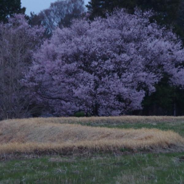 「桜咲く風景」