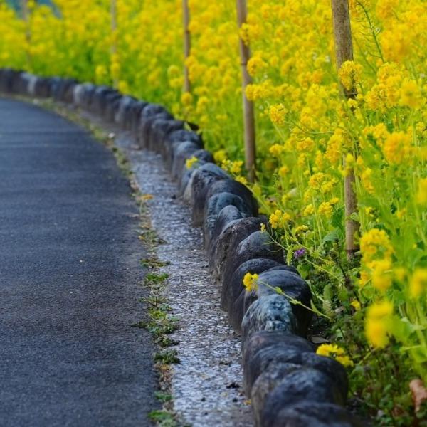 菜の花2021✨春の香り