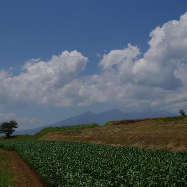 「とうもろこし畑と八ヶ岳」