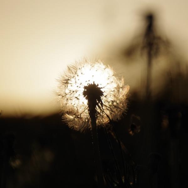 「たんぽぽの綿毛と夕陽」