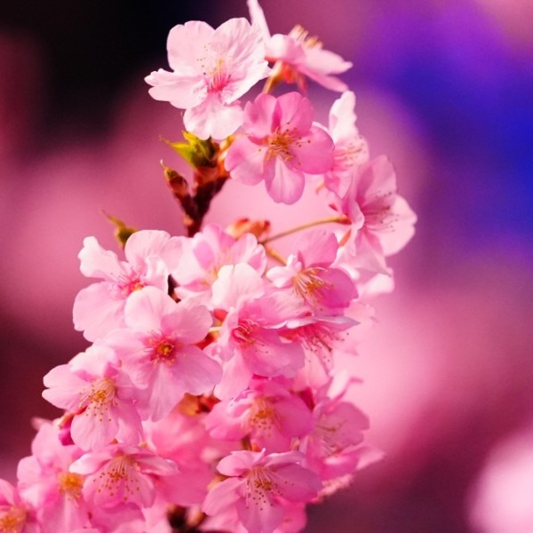 河津桜2021ほぼ満開💖/ピンクの舞