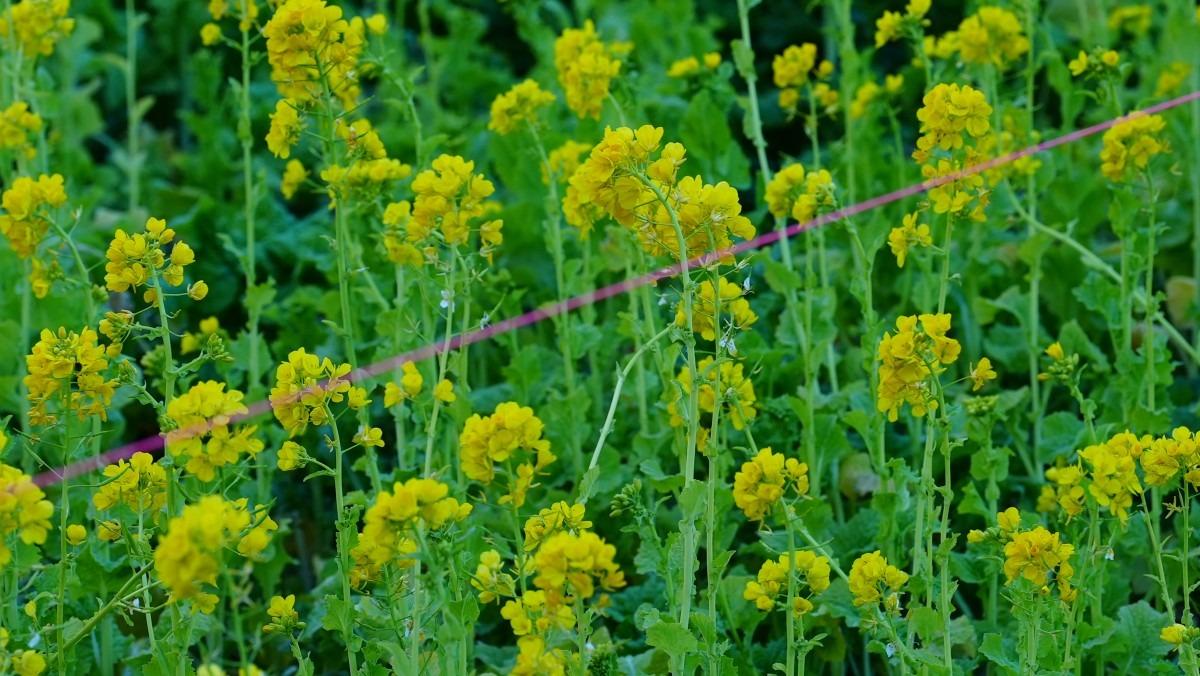 菜の花2021✨春よ来い/日比谷公園