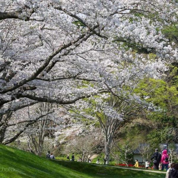浜松フラワーパークの桜 16