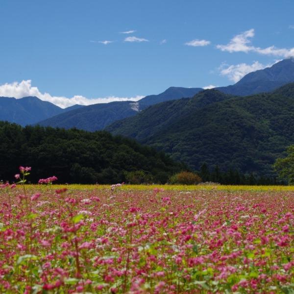 「赤蕎麦の花と南アルプス」