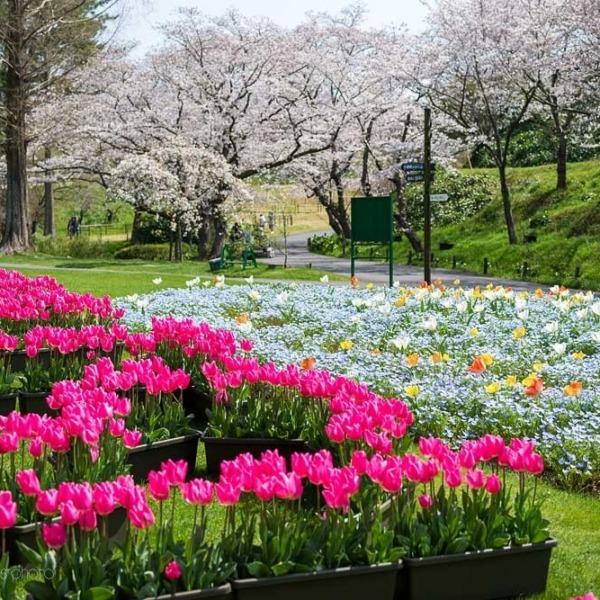 浜松フラワーパークの桜 2