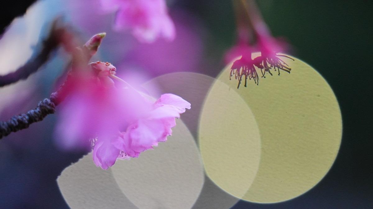 河津桜2021💖/いつまでも若く、ぼけないで