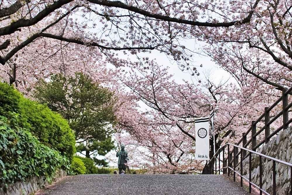 浜松城の桜 1