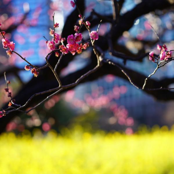 黄色の絨毯とピンクの香り_春の彩
