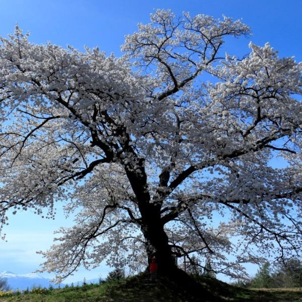 見返り地蔵桜