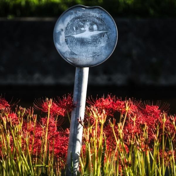 矢勝川の彼岸花 8