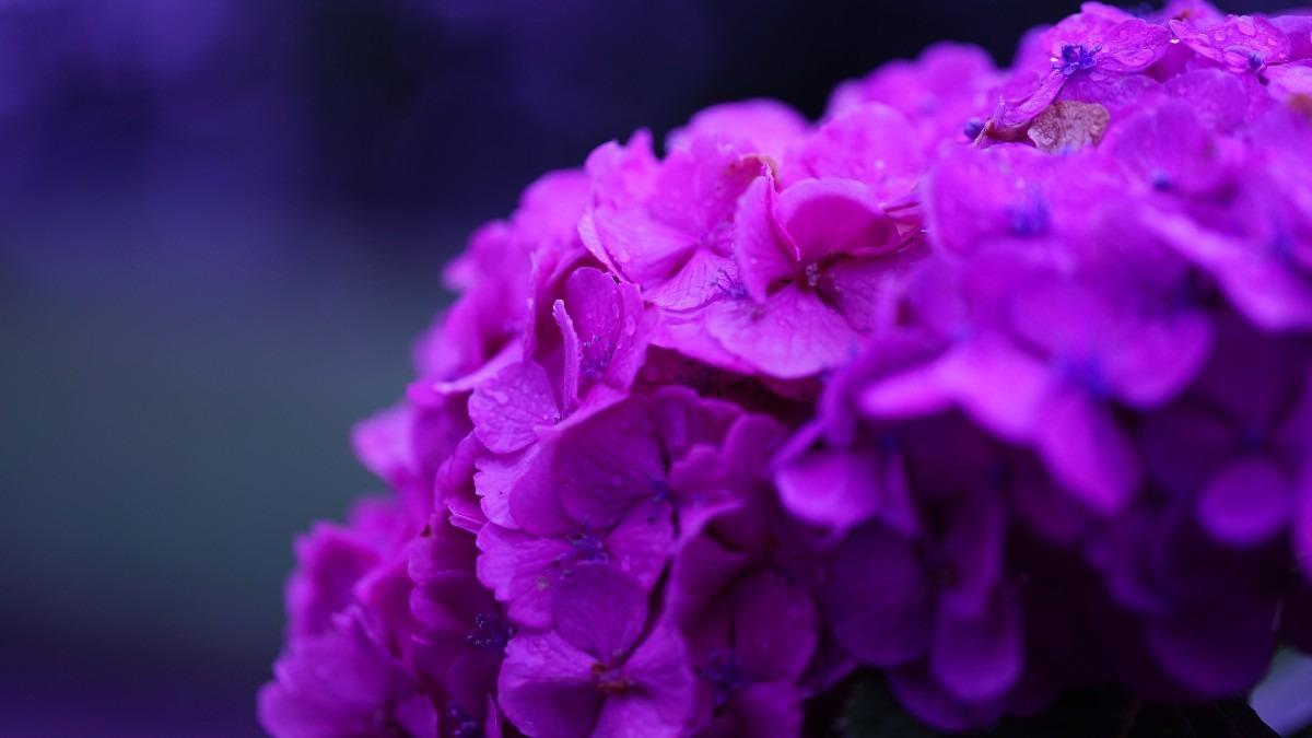 紫陽花2020彩💖:宝石の輝き雫💧編✨