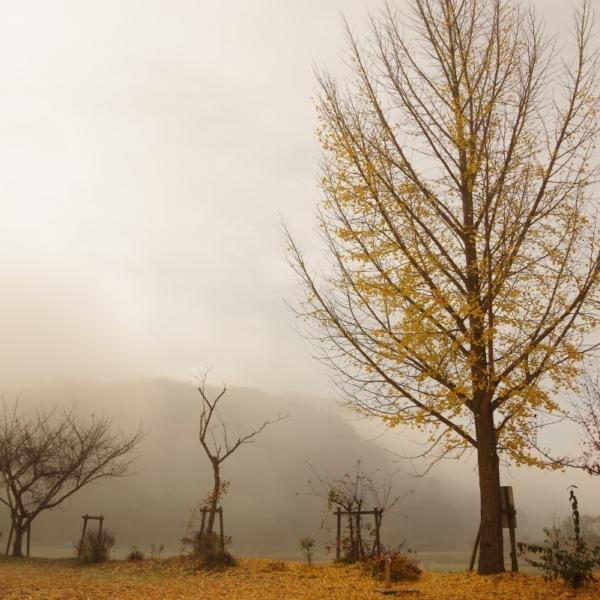 ―霧の中の銀杏―