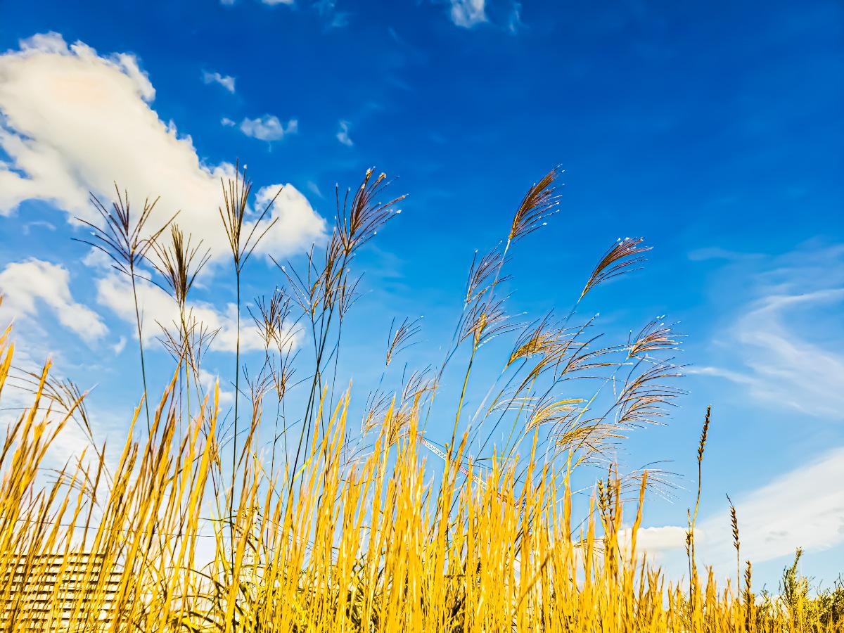 秋風に吹かれる秋の草