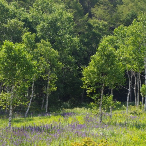 「エゾリンドウが咲く入笠湿原」