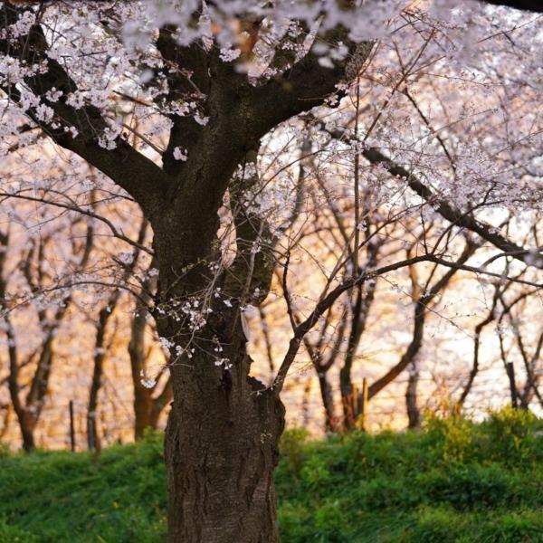 権現堂2020彩🌸:ピンクの楽園/マジックアワー✨