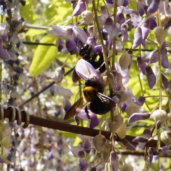 甘い香りに誘われたクマバチ