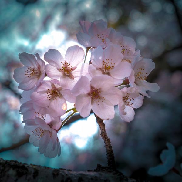 桜。春光の中で