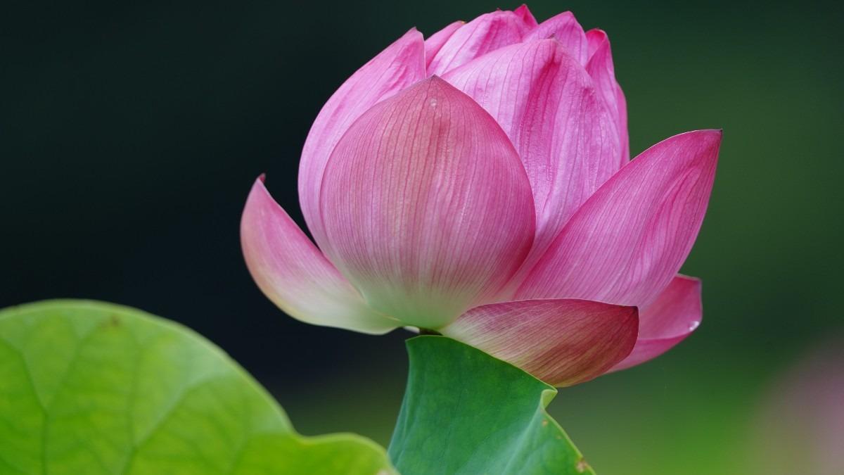 不忍池の蓮2020彩💖:上品なピンクの漂い✨