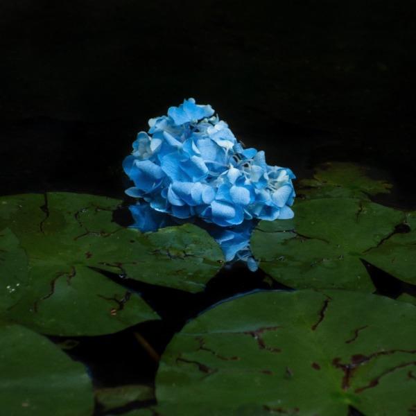 水面に浮かぶ紫陽花