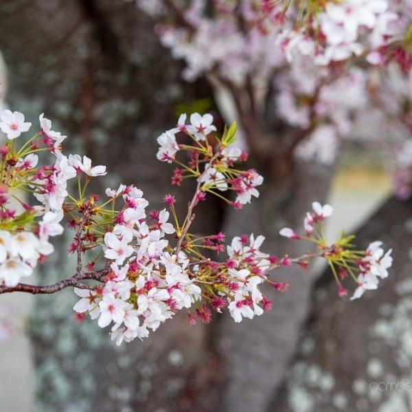 浜松城の桜 7