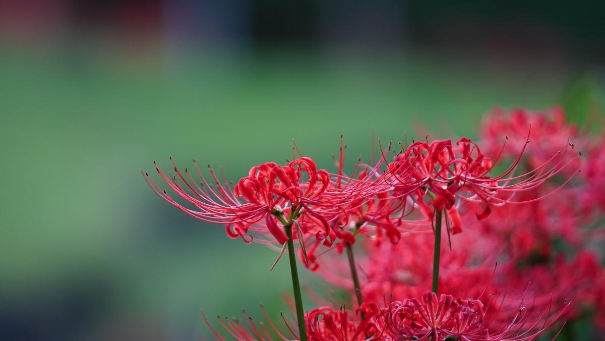 赤と緑の饗宴/小石川後楽園の彼岸花2019✨