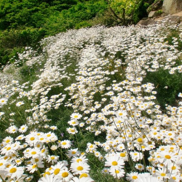 因島 重井の除虫菊2