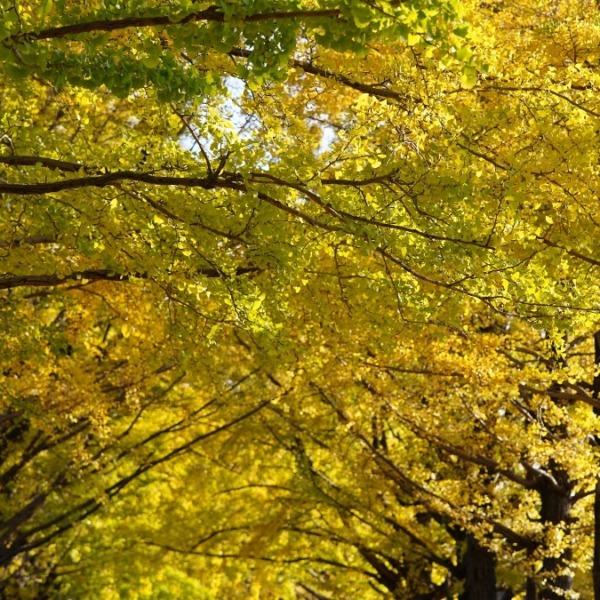 昭和記念公園:かたらいのイチョウ並木✨黄葉舞