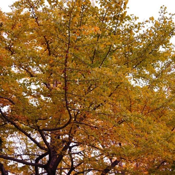 昭和記念公園:紅葉2020✨