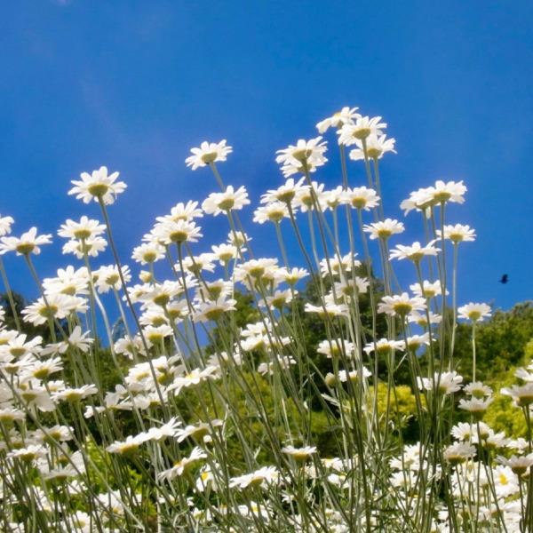 因島 重井の除虫菊